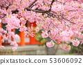 세 사이 堂의 카와 벚꽃 53606092