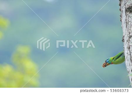 五色鳥,鳥,花和尚 53608373