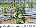 Manganjya Togarashi Cultivation 53611039