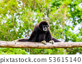White handed Gibbon sitting in a tree 53615140
