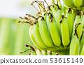 Banana tree with bunch of raw green bananas 53615149
