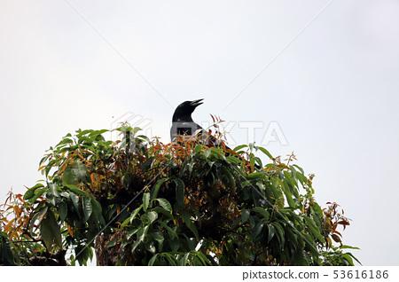 Hashibossu perched on a tree 53616186