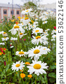 Lawn with blooming daisies. Flower bed in town. 53622146