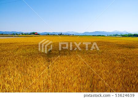 밀밭과 푸른 하늘 [사이타마 현 가미 사토 정] 53624639