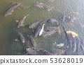 鯉魚 53628019
