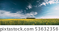 Blossom Of Canola Yellow Flowers Under Sunny Sky. Rape Plant, Rapeseed, Oilseed Field Meadow Grass 53632356