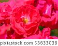장미 꽃 (봄 장미) [루비 립스] 작출 년 1958 년 작출 나라 미국 53633039