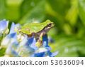 블루에 물들기 시작한 비가 갠 뒤의 수국과 청개구리 장마 이미지 53636094