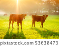 Calves 53638473