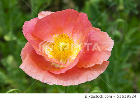 꽃양귀비 53639524