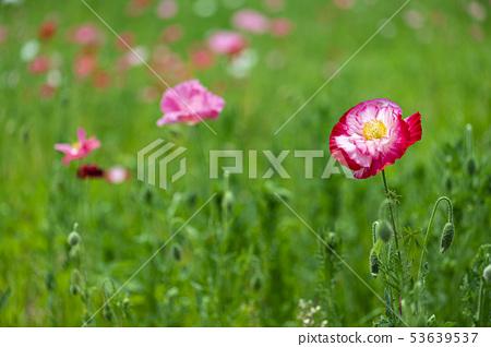 꽃양귀비 53639537
