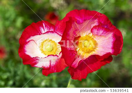 꽃양귀비 53639541