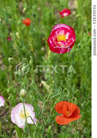 꽃양귀비 53639542