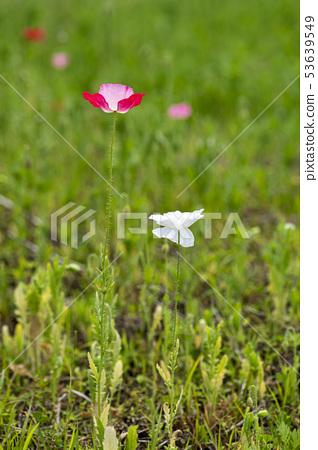 꽃양귀비 53639549