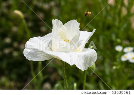 꽃양귀비 53639561