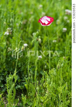 Flower poppy 53639563