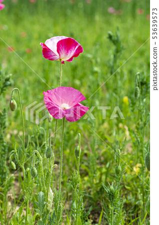 꽃양귀비 53639573