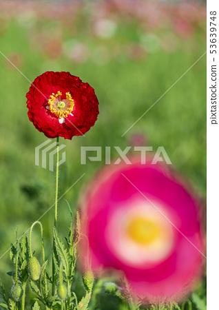꽃양귀비 53639748