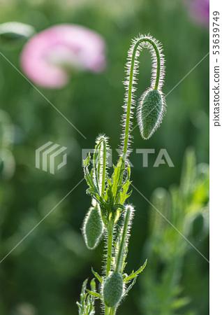 꽃양귀비 53639749
