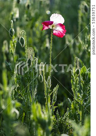 Flower poppy 53639751