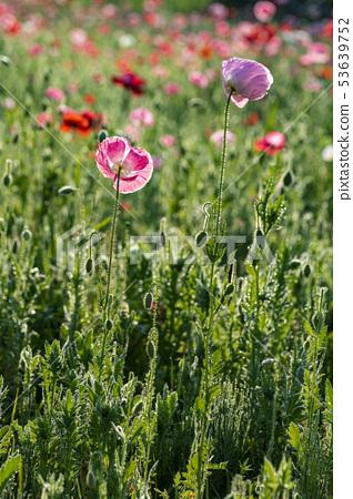 꽃양귀비 53639752