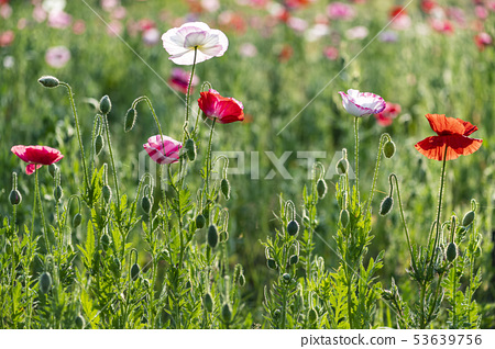 꽃양귀비 53639756