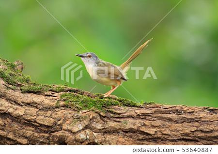 褐頭鷦鶯,鷦鷯,鳥 53640887