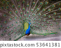 Peacock with feathers extended 53641381