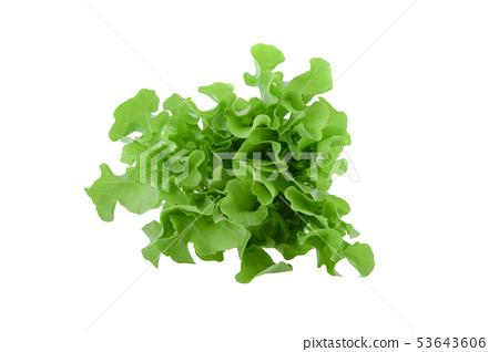 Green oak lettuce on white background 53643606