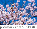 Sakura, Cherry Blossom flower in spring season 53649383