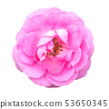 กุหลาบ,ดอกกุหลาบ,สีชมพู 53650345