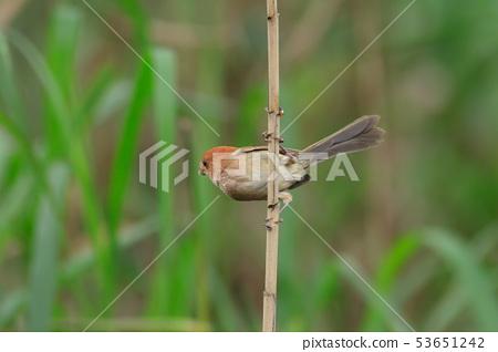 粉红鹦嘴,棕头鸦雀,鸟 53651242