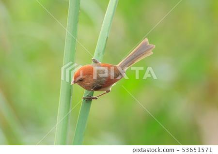 粉紅鸚嘴,棕頭鴉雀,鳥 53651571