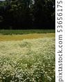 洋甘菊领域和森林 53656175