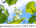 green leaves of grapes on a background of blue sky 53657841
