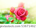 Pink garden rose with warm sunlight background and 53671462