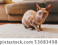 Sitting Gold eyed Peterbald cat . Purebred cat 53683498