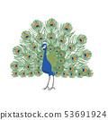 孔雀的插圖 53691924