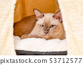 Burmese cat kitty color chocolate, is a breed of 53712577