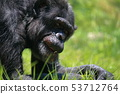침팬지 53712764