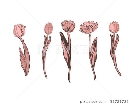 Realistic vector tulips set. Not trace. 53721782