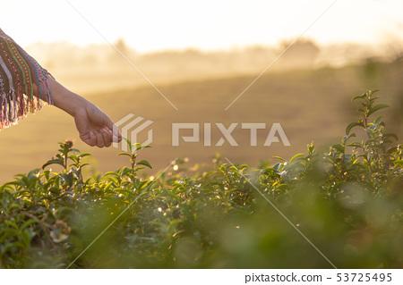 Close up hand worker farmer women were picking  53725495