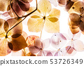 pink hydrangea flowers isolated on the white background 53726349