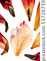 dried tulip petals on the white background 53726730
