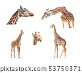 116+ Megapixel Giraffe Variety Collection Isolated 53750371