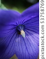 Blue Petunia in macro with focus on the pollen. 53758769