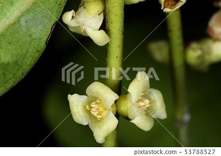 Nature plant Ryukyu Koktan,核心材料似乎用於黑色,堅固和高品質的三排藤 53788527