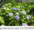 ดอกไฮเดรนเยียสีน้ำเงินและดอกไม้สีเหลืองที่เริ่มเบ่งบาน 53799409