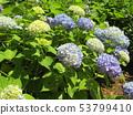 ดอกไฮเดรนเยียสีน้ำเงินและดอกไม้สีเหลืองที่เริ่มเบ่งบาน 53799410