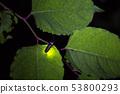 [반딧불] 겐지 보탈의 발광 53800293